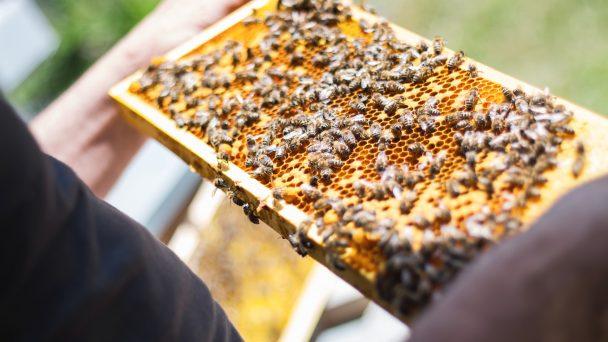 Ein Imker hält eine Bienenwabe in der Hand.